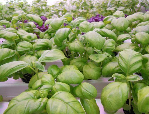 Valoya LED grow lights for leafy greens