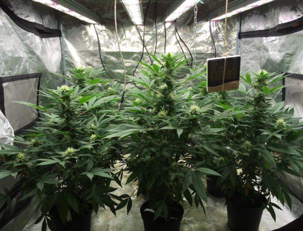 Valoya LED Grow Lights for Cannabis Production