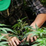Cannabis LED Valoya