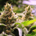 Valoya LEDs Grow Lights For Cannabis
