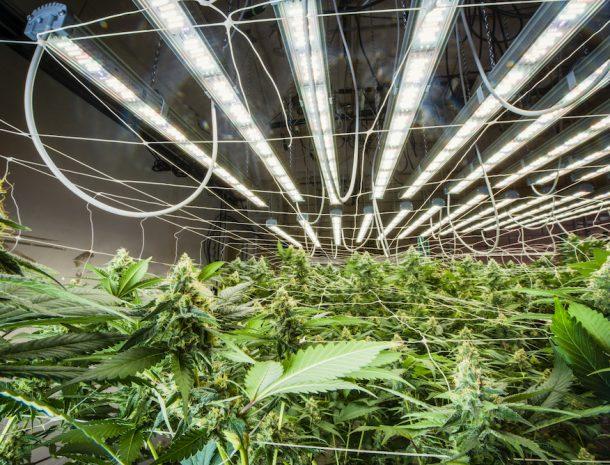Cannabis Bloom Valoya LEDs
