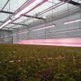 Horticoop Greenhouse, Czech Republic, Valoya B150 LED Grow Lights