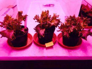 LUKE Valoya light quality aphid lettuce 1