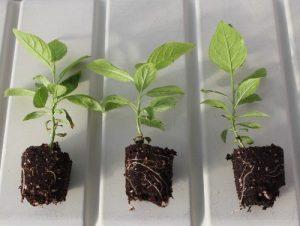plum seedlings Valoya AP67 LEDs HPS MTT