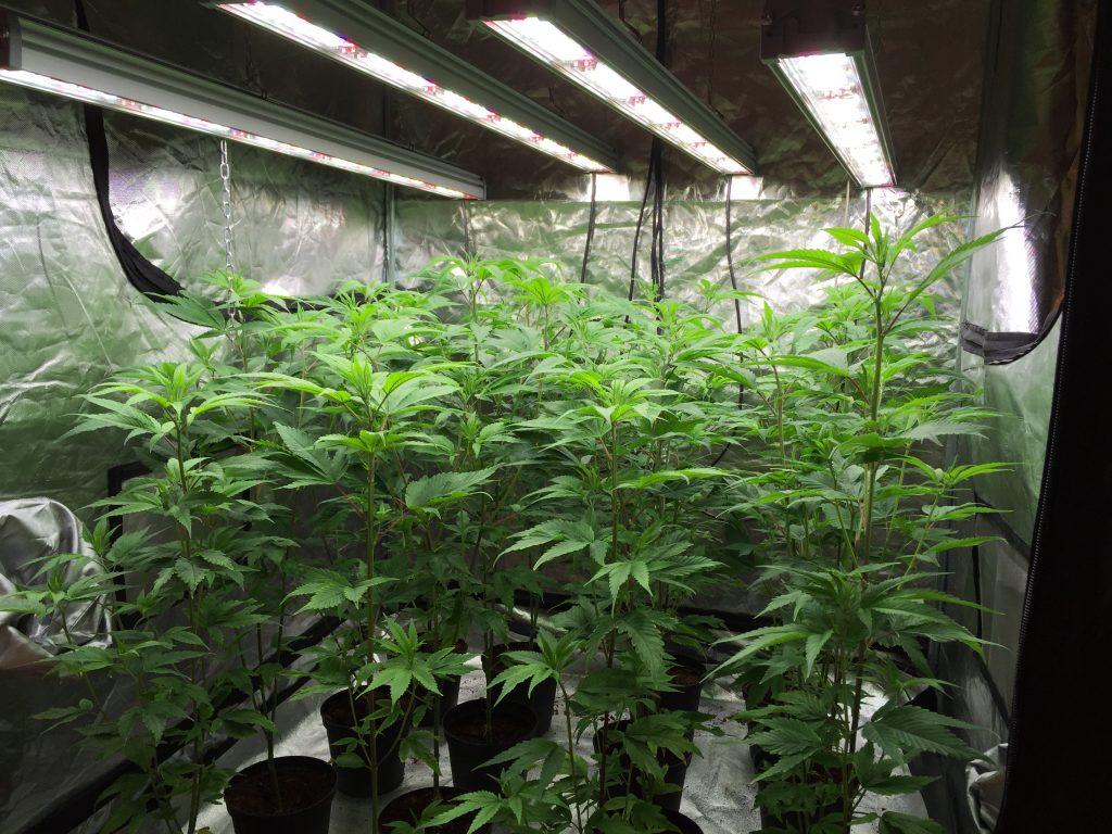 Valoya LED Grow Lights for Cannabis