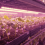 Artificial Lighting In Agriculture