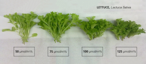 Lettuce grown under LEDs µmol/m2/s