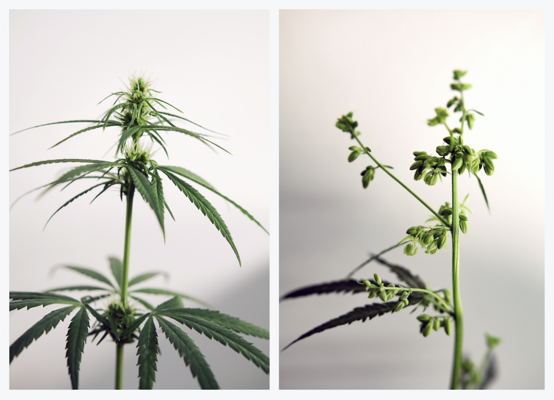 Male Female Hemp Cannabis Plants