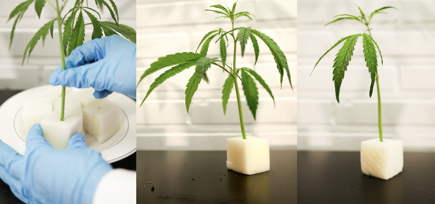 Rooting Male Female Hemp Cannabis Plants