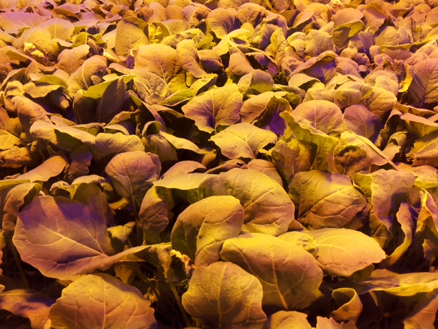 Valoya Has One of the Largest Patent Portfolios of the Horticultural Lighting Industry DE_Lantmännen_canola-2