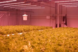 Valoya Has One of the Largest Patent Portfolios of the Horticultural Lighting Industry Dark-Lettuce-1-300x200