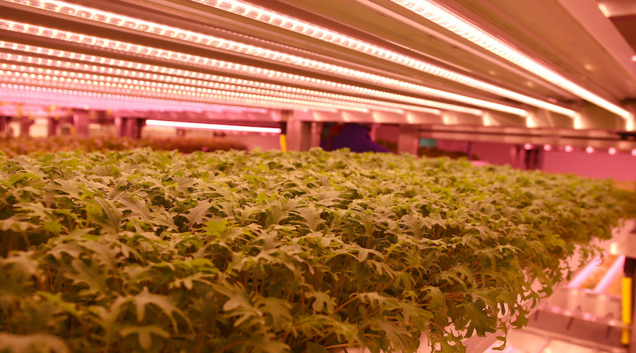 LEDs vertical farming