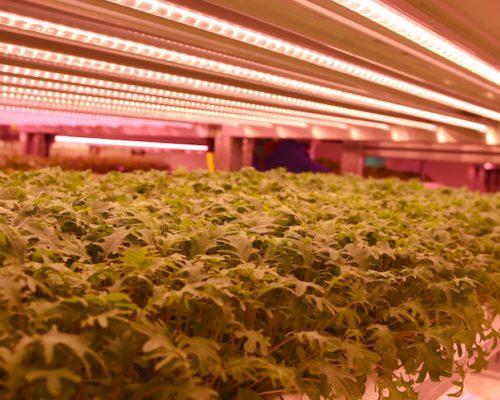 LEDs vertical farming